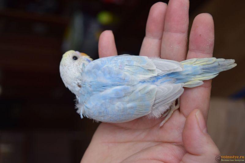 Радужная красота - птенцы от Тора и Мелисы - DSC_7404.JPG