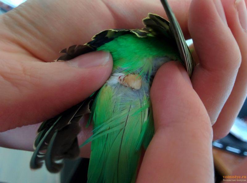 Нарост/опухоль над хвостом у волнистого попугайчика. - IMG_20190327_140206.jpg