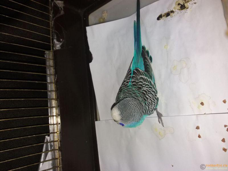 Волнистый попугай заболел - 15538851536271638621871.jpg