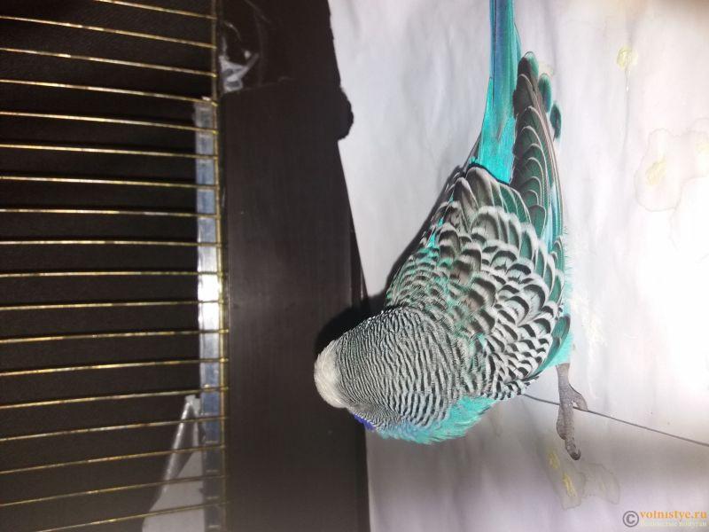Волнистый попугай заболел - 1553885190534970150051.jpg