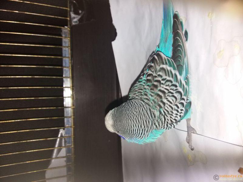 Волнистый попугай заболел - 1553885219916169140421.jpg