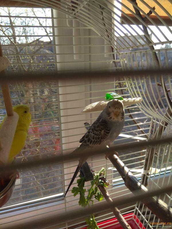 Какого окраса ваши попугаи и какого у них получились птенцы? - IMG_20190407_073625.jpg