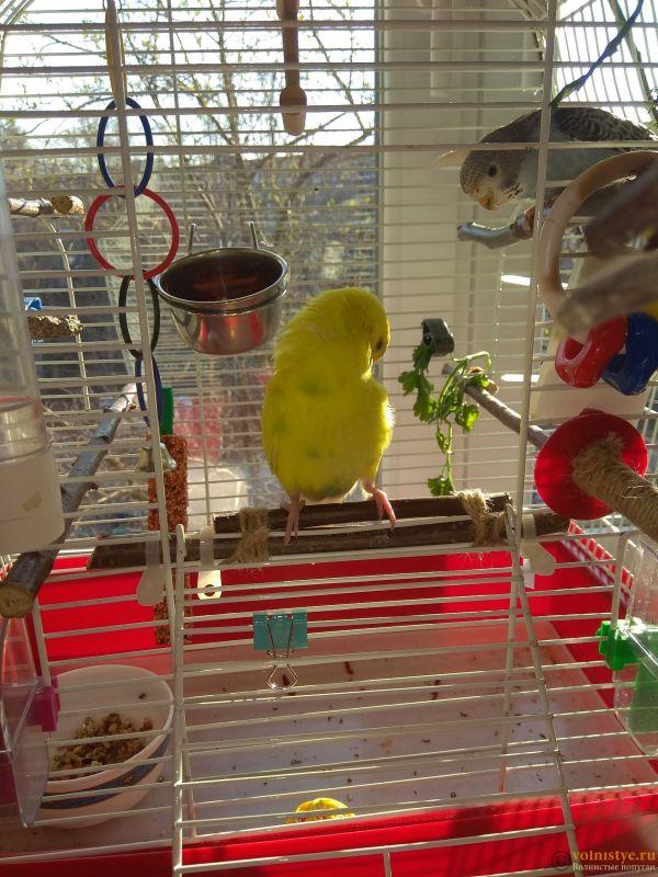 Какого окраса ваши попугаи и какого у них получились птенцы? - IMG_20190407_073734.jpg