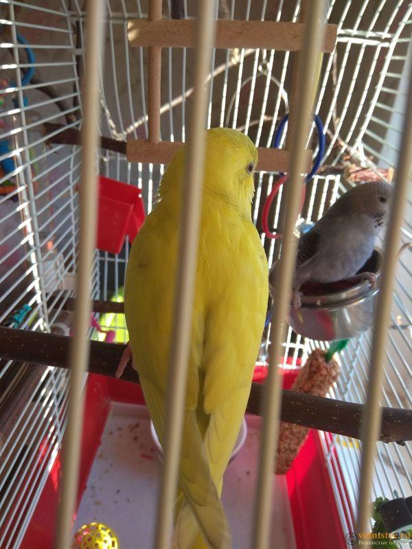 Какого окраса ваши попугаи и какого у них получились птенцы? - IMG_20190407_073526.jpg
