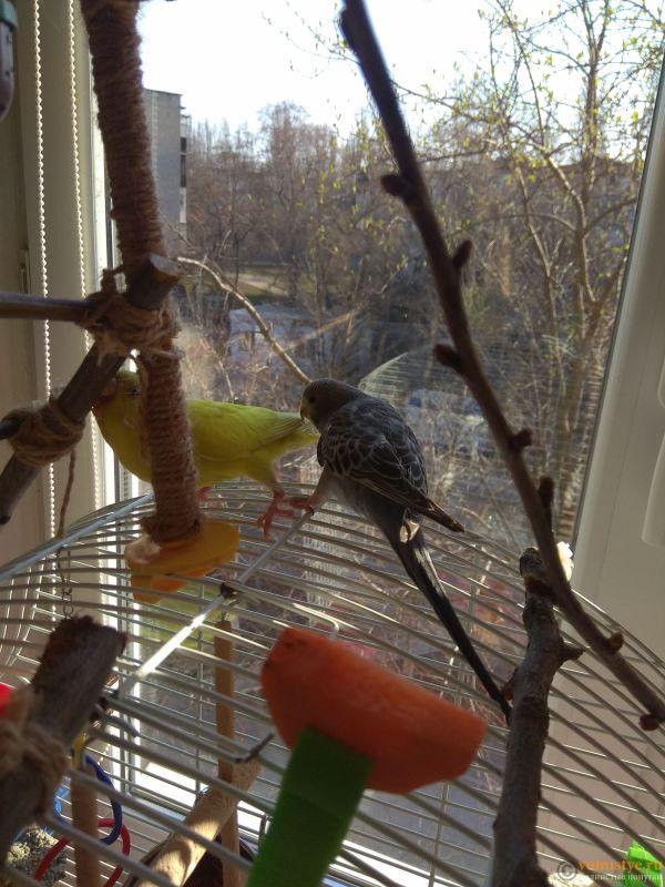 Какого окраса ваши попугаи и какого у них получились птенцы? - IMG_20190407_075603.jpg