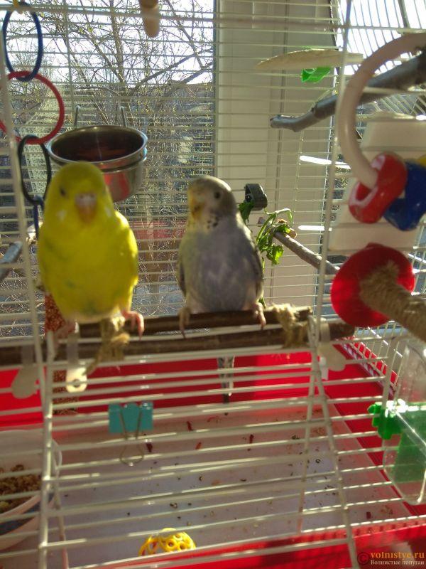 Какого окраса ваши попугаи и какого у них получились птенцы? - IMG_20190407_073807.jpg