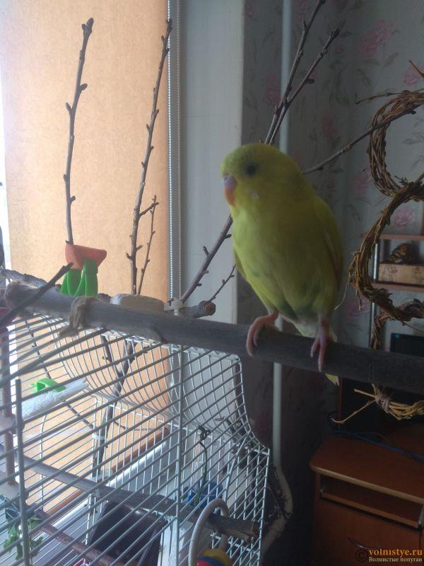 Какого окраса ваши попугаи и какого у них получились птенцы? - IMG_20190407_103251.jpg