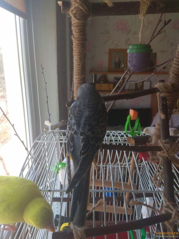 Какого окраса ваши попугаи и какого у них получились птенцы? - IMG_20190407_103840.jpg