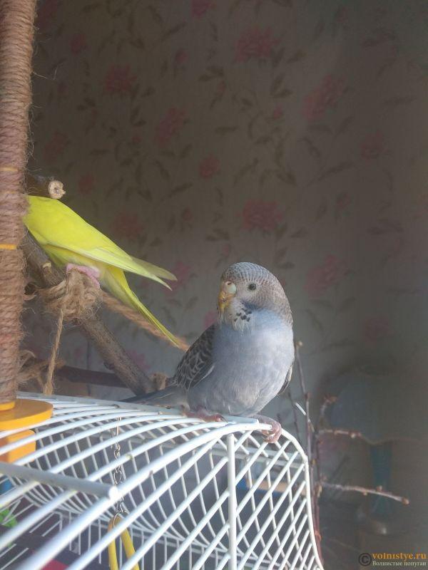 Какого окраса ваши попугаи и какого у них получились птенцы? - IMG_20190407_103736.jpg
