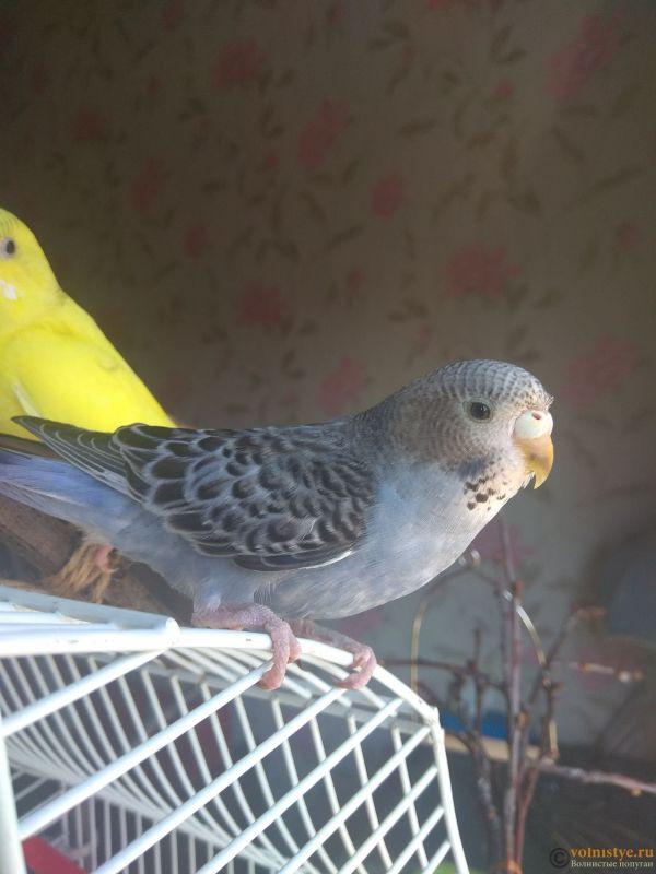 Какого окраса ваши попугаи и какого у них получились птенцы? - IMG_20190407_103419.jpg