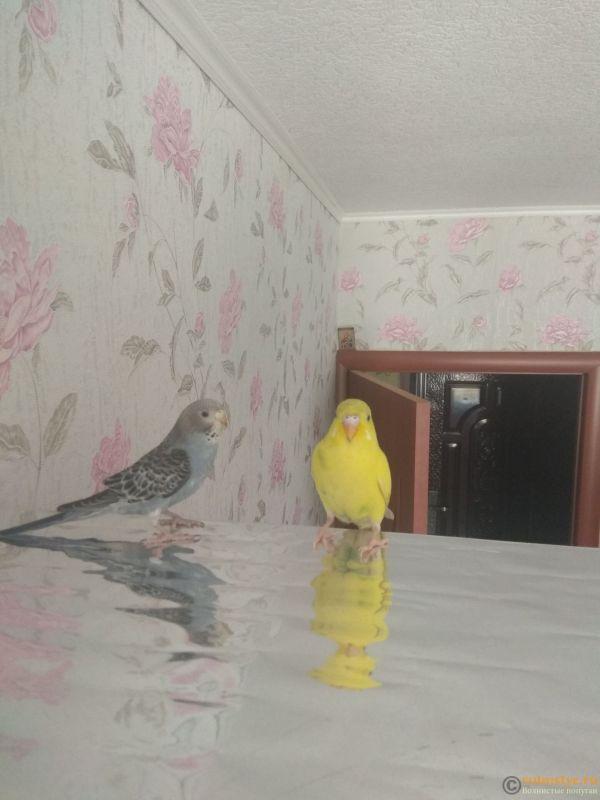 Какого окраса ваши попугаи и какого у них получились птенцы? - IMG_20190407_105553.jpg