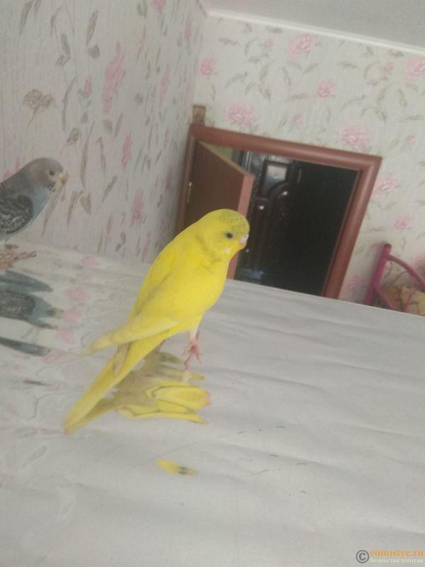Какого окраса ваши попугаи и какого у них получились птенцы? - IMG_20190407_105530.jpg