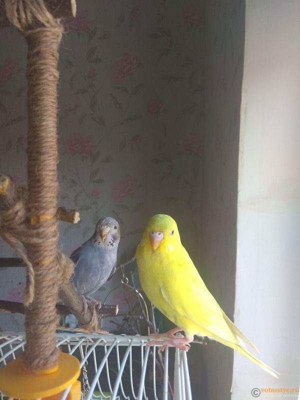Какого окраса ваши попугаи и какого у них получились птенцы? - IMG_20190407_105715.jpg