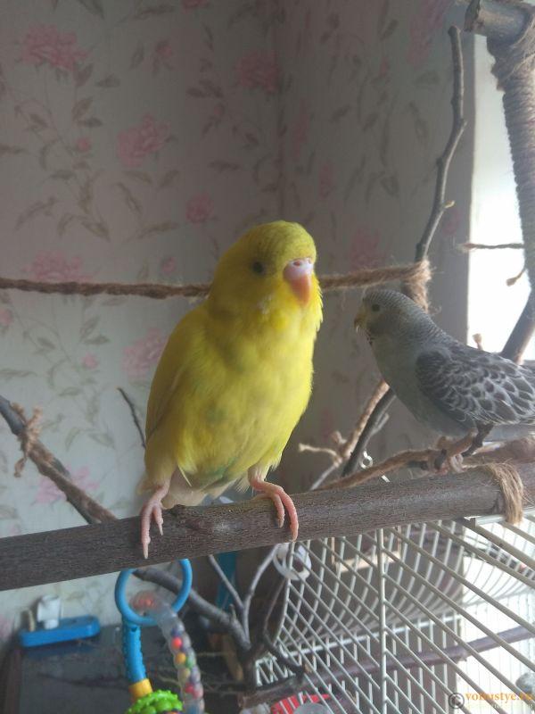 Какого окраса ваши попугаи и какого у них получились птенцы? - IMG_20190407_112000.jpg