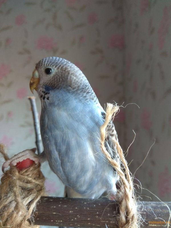 Какого окраса ваши попугаи и какого у них получились птенцы? - IMG_20190407_142154.jpg
