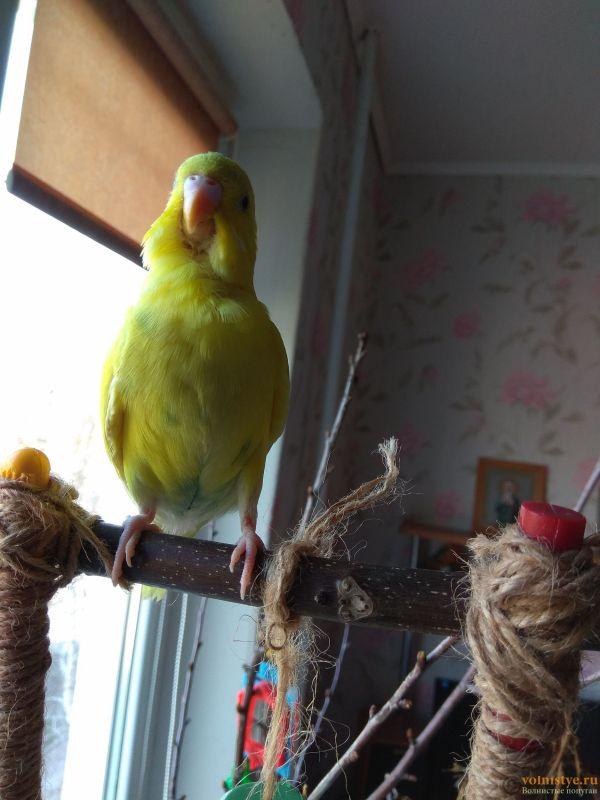 Какого окраса ваши попугаи и какого у них получились птенцы? - IMG_20190407_135236.jpg