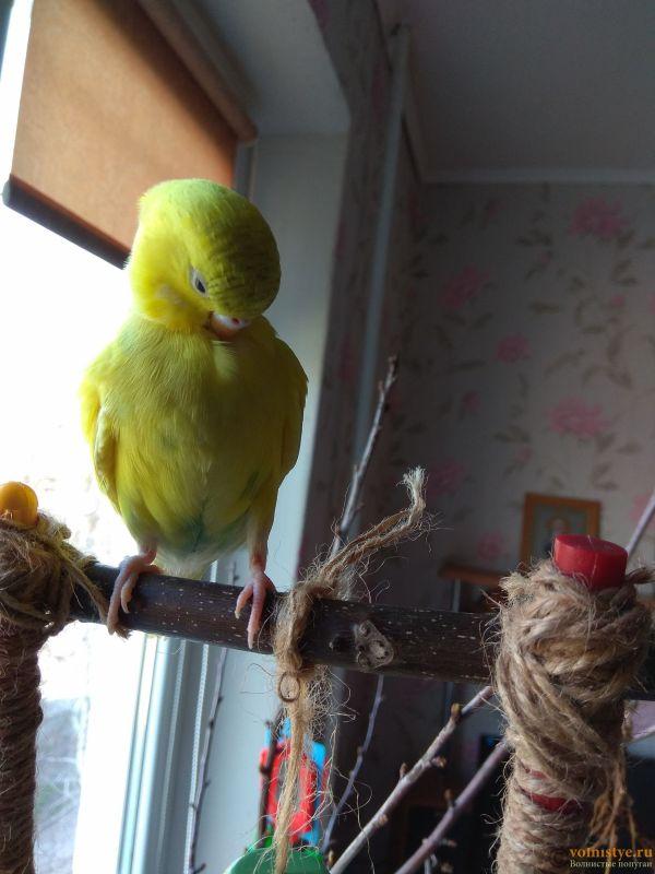 Какого окраса ваши попугаи и какого у них получились птенцы? - IMG_20190407_135233.jpg