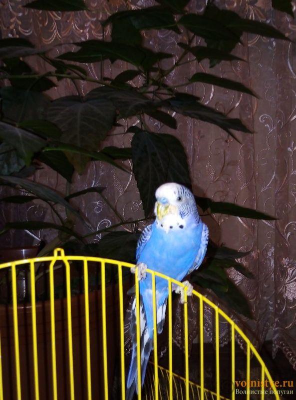 Нарост у попугая на клюве. - TiRGFR_u5_0.jpg