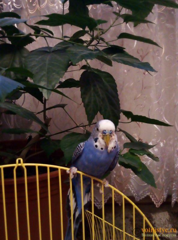 Нарост у попугая на клюве. - uiqh3J_aZZQ.jpg