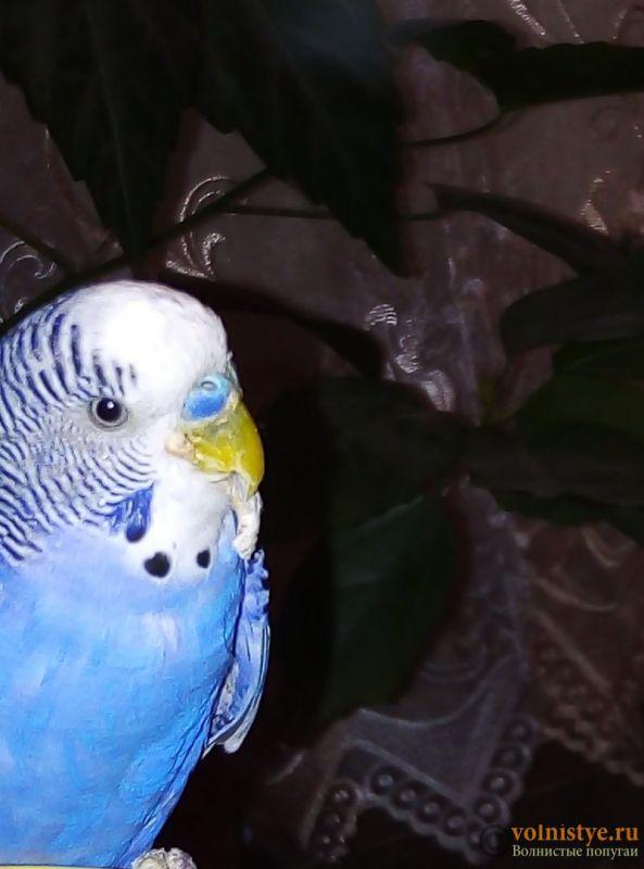 Нарост у попугая на клюве. - kmrS78r90_g.jpg