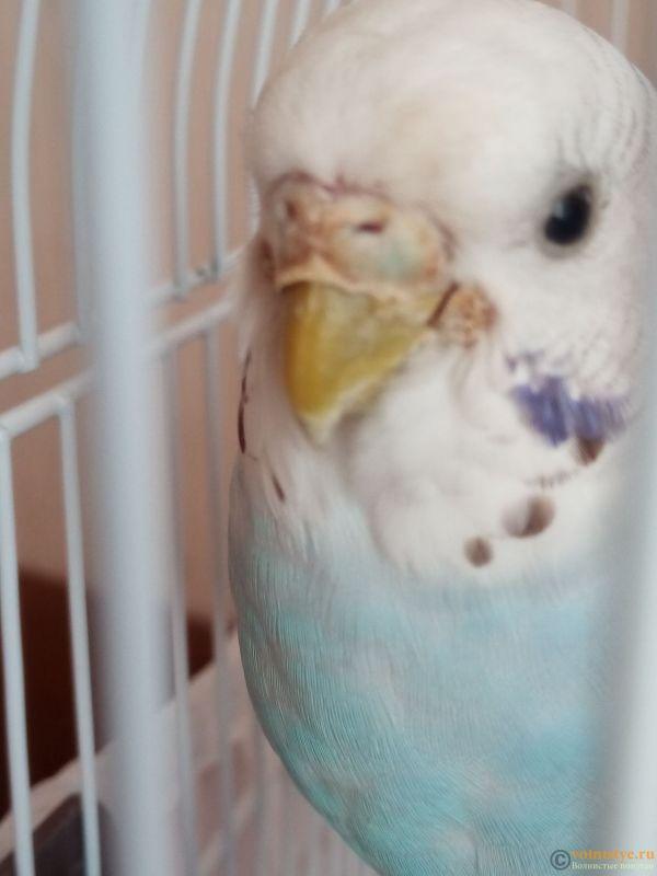 У попугая что-то возле клюва, и часто чешется - IMG_20190418_170352_1.jpg