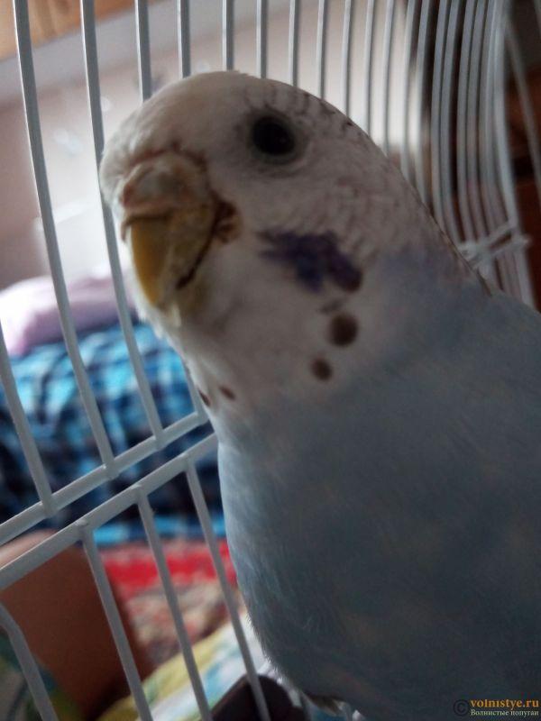 У попугая что-то возле клюва, и часто чешется - IMG_20190429_150642_5.jpg