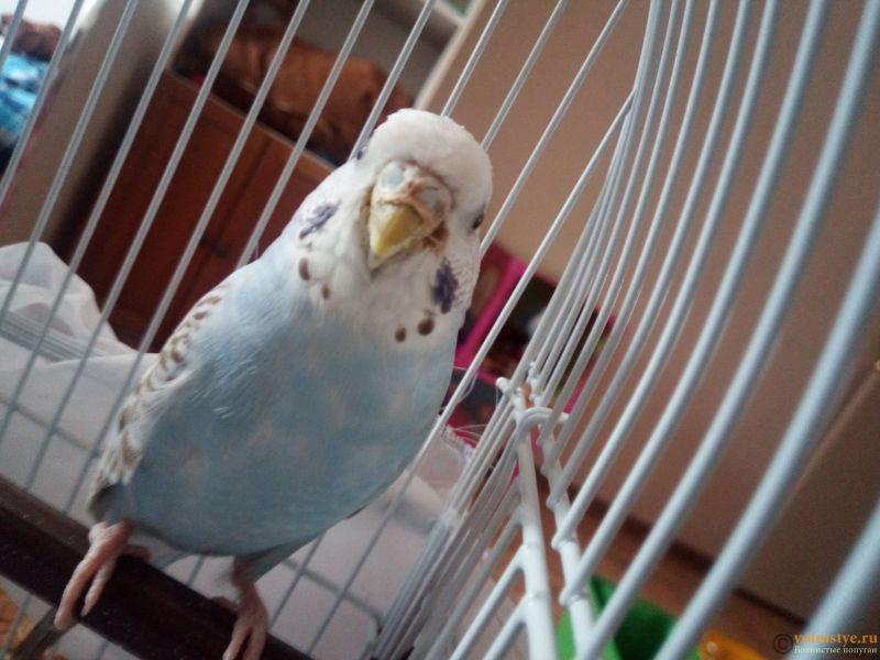 У попугая что-то возле клюва, и часто чешется - IMG_20190429_150348_0.jpg