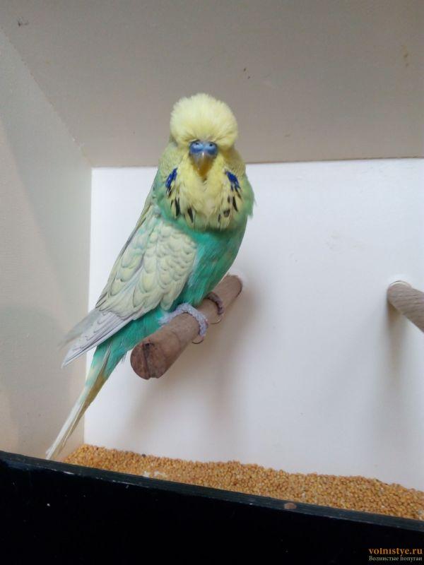 Продам выставочных волнистых попугаев - IMG_20170204_112736.jpg