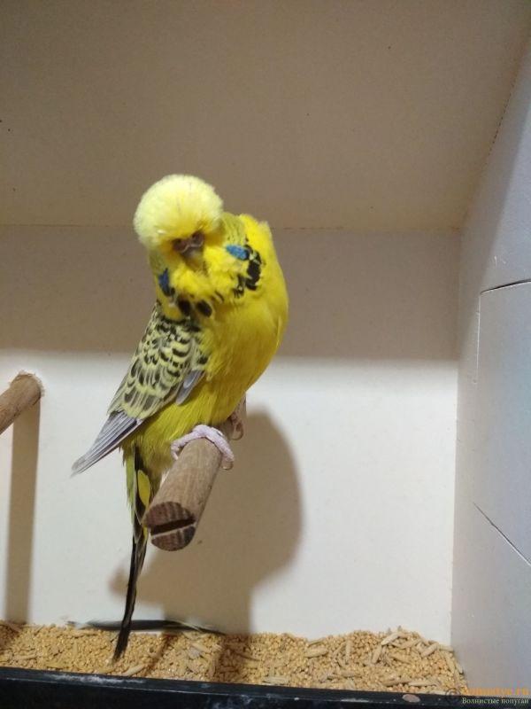 Продам выставочных волнистых попугаев - IMG_20190411_192546.jpg