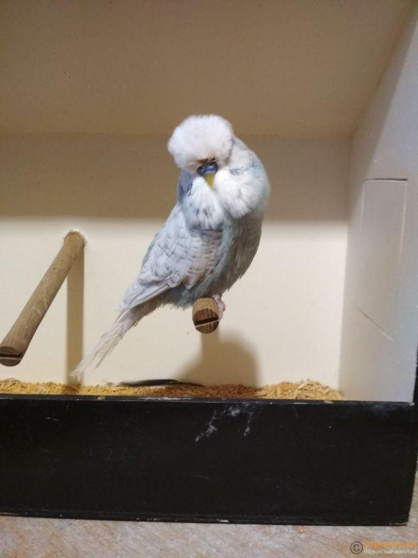Продам выставочных волнистых попугаев - IMG_20190411_192649.jpg