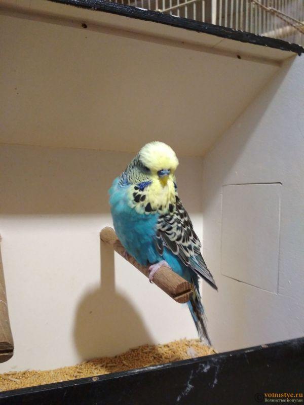 Продам выставочных волнистых попугаев - IMG_20190411_193150.jpg