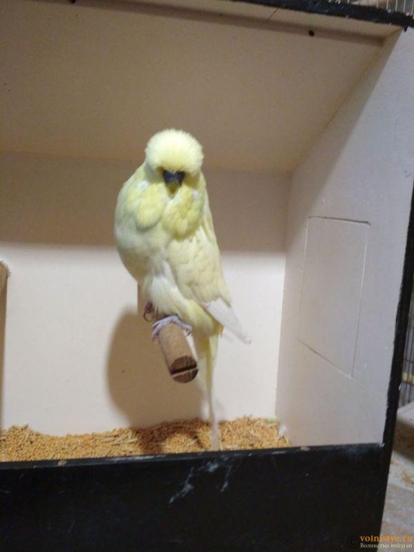 Продам выставочных волнистых попугаев - IMG_20190411_193345.jpg
