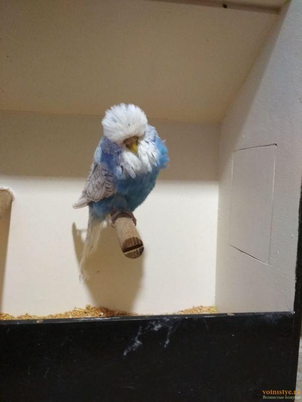 Продам выставочных волнистых попугаев - IMG_20190411_194046.jpg