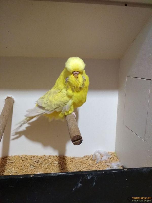 Продам выставочных волнистых попугаев - IMG_20190411_194934.jpg