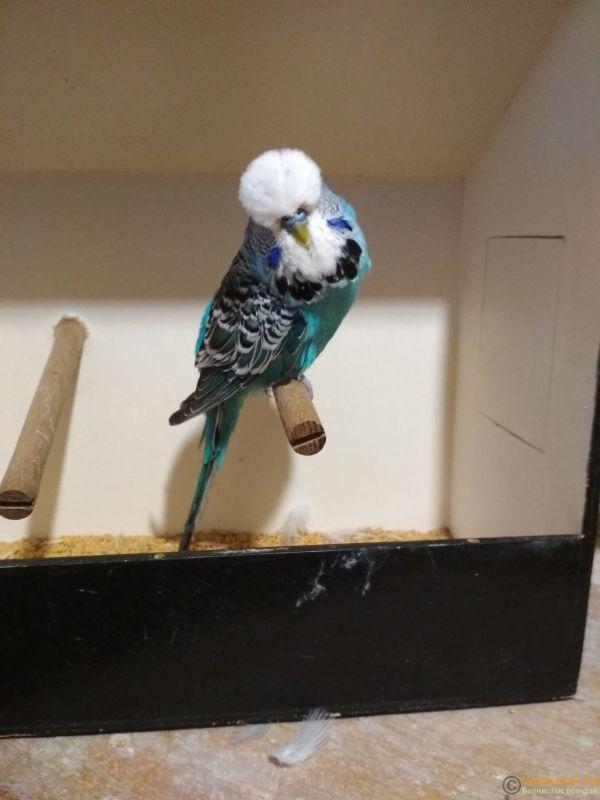 Продам выставочных волнистых попугаев - IMG_20190411_195110_1.jpg