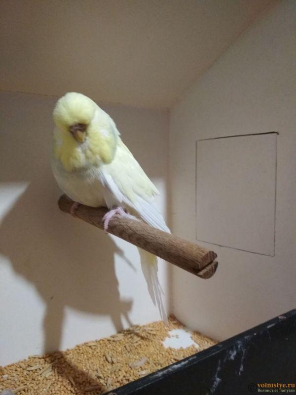 Продам выставочных волнистых попугаев - IMG_20190411_195502.jpg