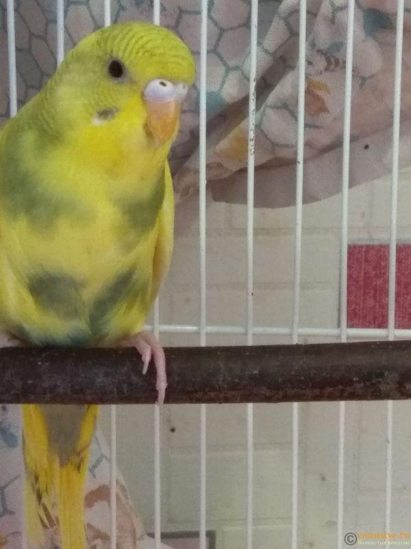 Какого окраса ваши попугаи и какого у них получились птенцы? - IMG_20190503_144128.jpg