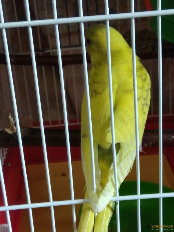 Какого окраса ваши попугаи и какого у них получились птенцы? - IMG_20190503_143556.jpg
