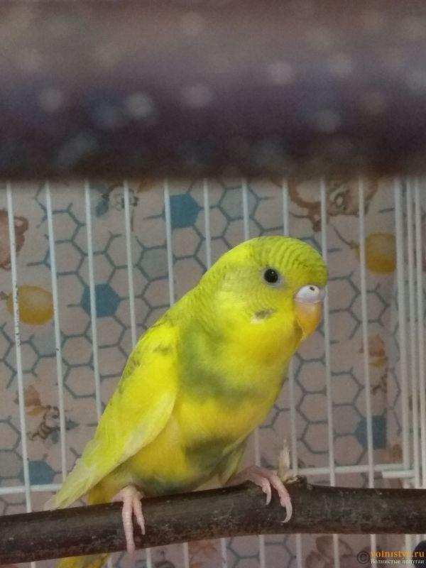 Какого окраса ваши попугаи и какого у них получились птенцы? - IMG_20190503_143529.jpg