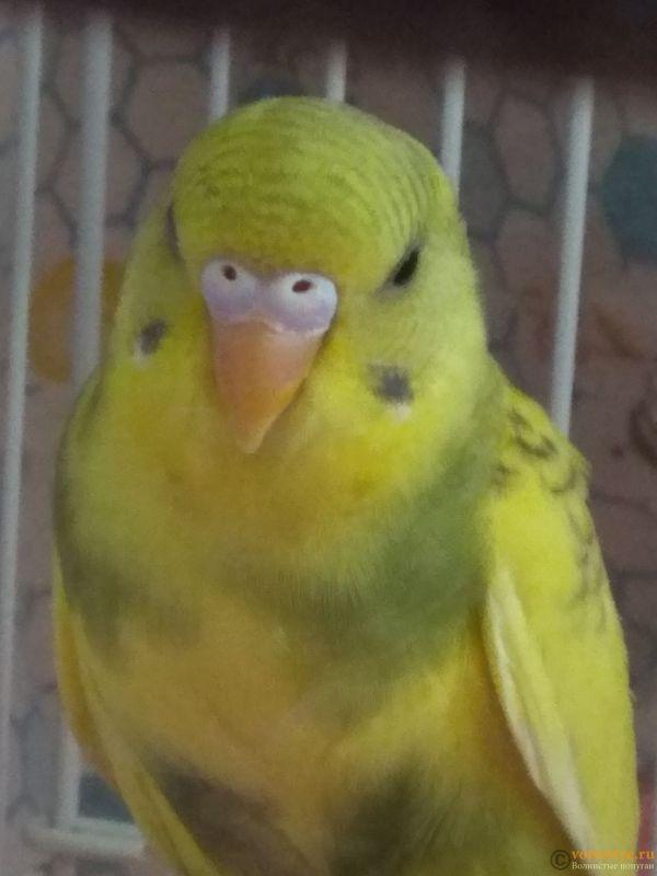 Какого окраса ваши попугаи и какого у них получились птенцы? - IMG_20190503_144240.jpg