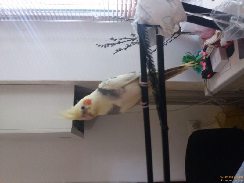 Определение пола и возраста попугаев корелла - 20190511_171130.jpg
