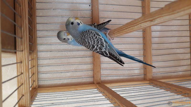 Определение пола и возраста попугаев № 12 - 20190513_084803.jpg