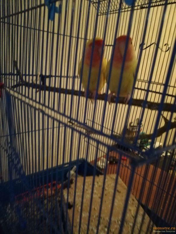 Какого окраса ваши попугаи и какого у них получились птенцы? - IMG_20190506_195043.jpg
