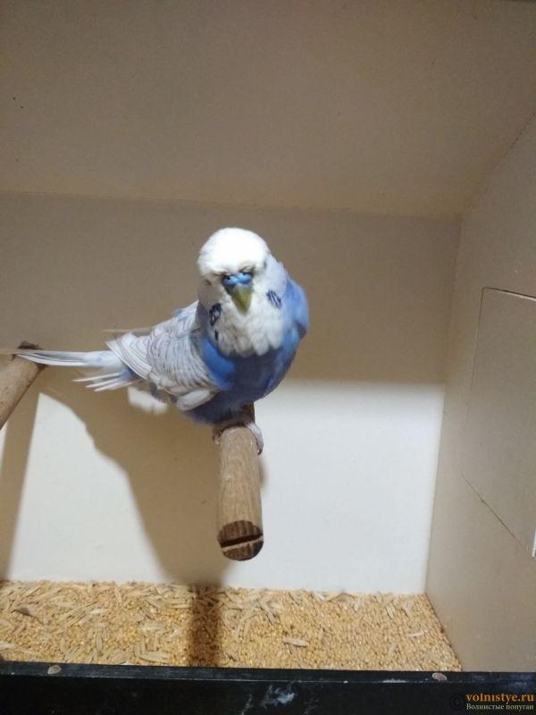 Продам выставочных волнистых попугаев - IMG_20181017_190154.jpg