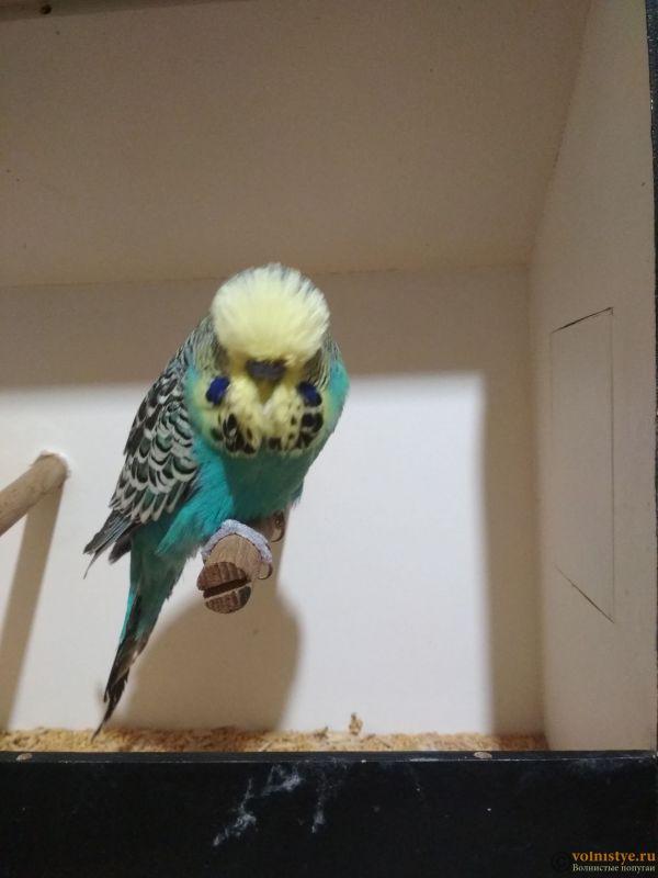 Продам выставочных волнистых попугаев - IMG_20190202_202856.jpg