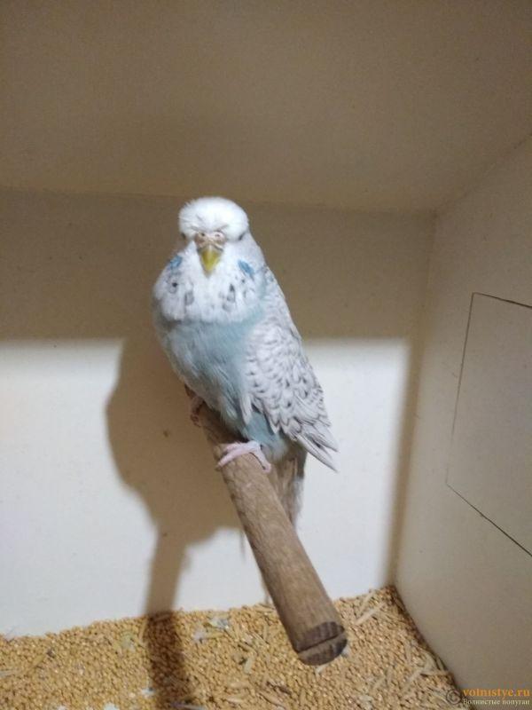 Продам выставочных волнистых попугаев - IMG_20190406_202714_1.jpg
