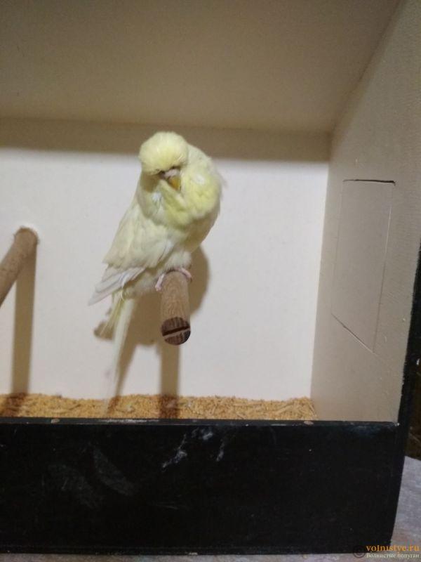 Продам выставочных волнистых попугаев - IMG_20190406_203152.jpg