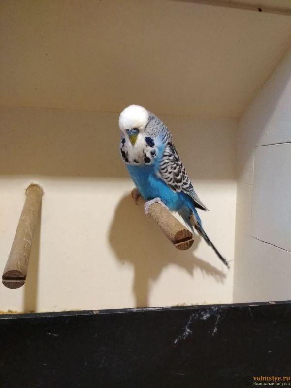 Продам выставочных волнистых попугаев - IMG_20190411_191258.jpg
