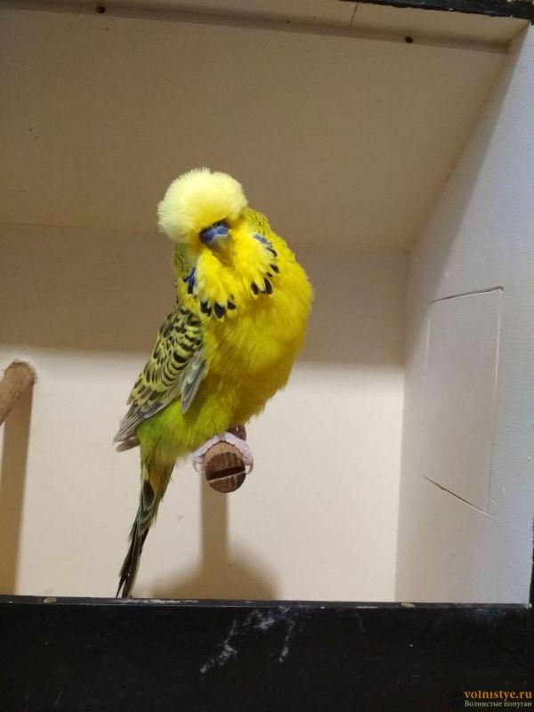Продам выставочных волнистых попугаев - IMG_20190411_191620.jpg