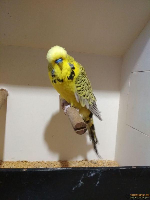 Продам выставочных волнистых попугаев - IMG_20190411_191919_1.jpg